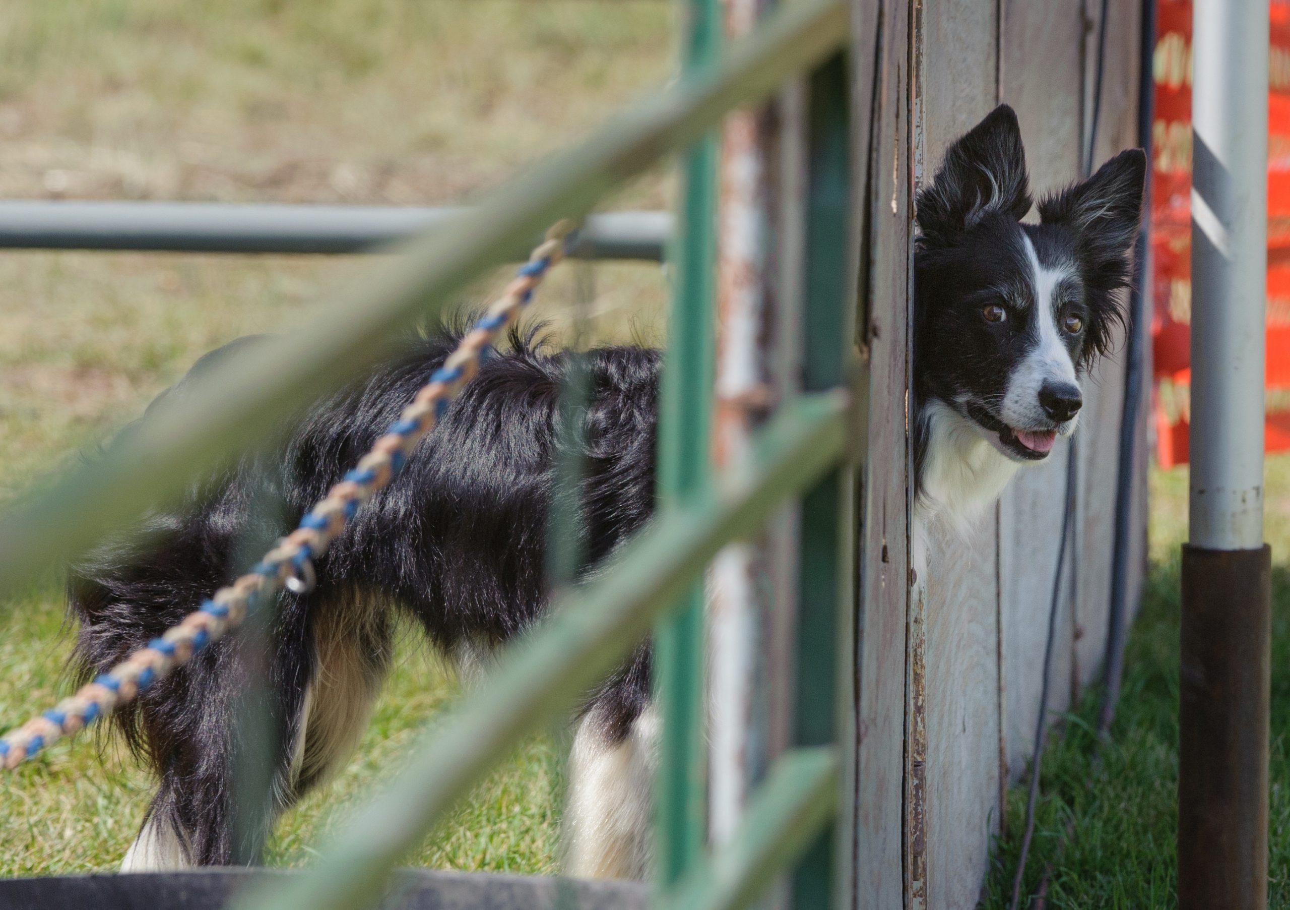 Nursery dogs qualifying in Open